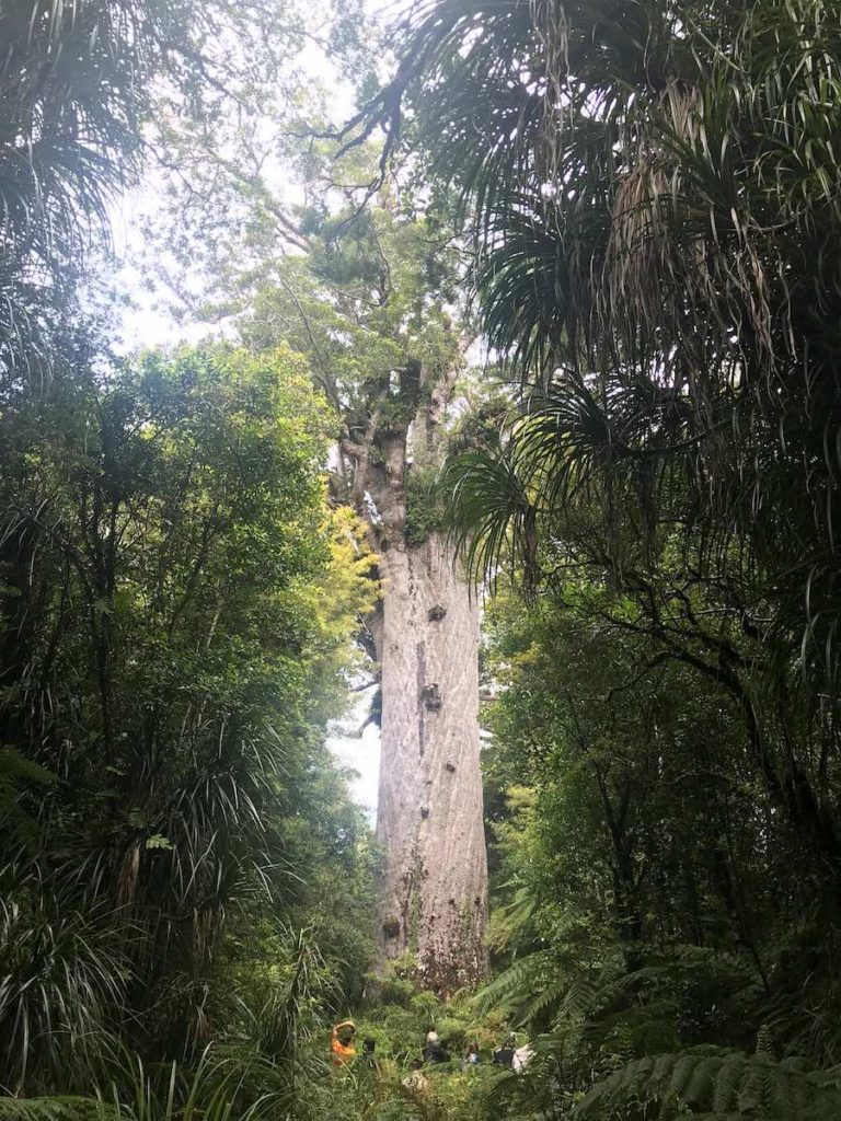 Kauri Trees; Roadtrip durch Neuseelands Nordinsel; Neuseeland Rundreise; Roadtrip Neuseeland Route