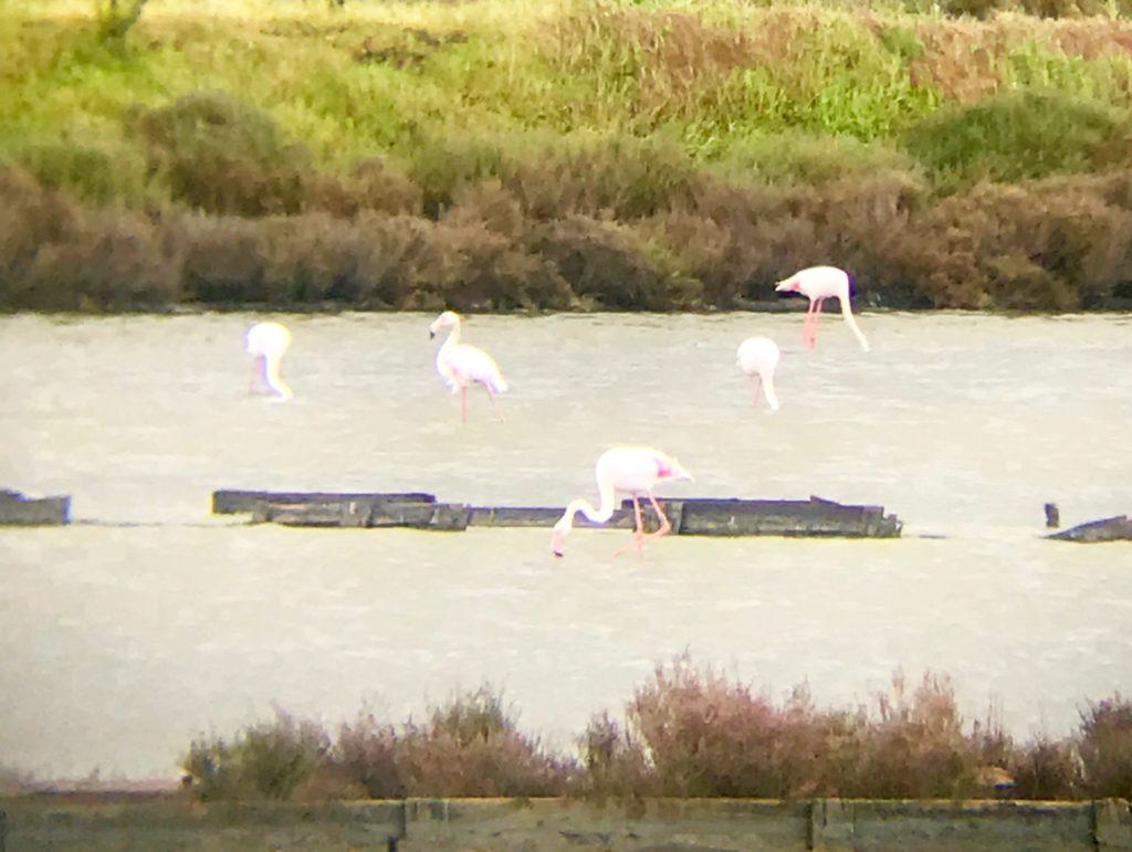 Flamingos bei Setubal